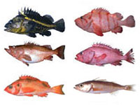 Rockfish Matching game
